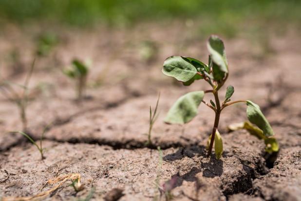 Rolnictwo podupada przez suszę
