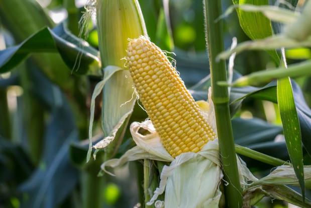 CIECH planuje kolejne rejestracje swoich środków ochrony roślin w Rumunii