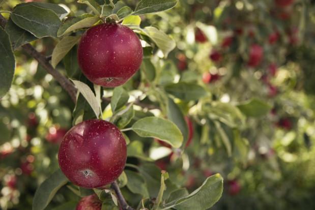 Sadownicy mają swoje strategie dbania o kondycję drzew w sadzie