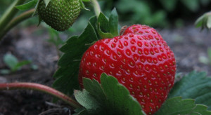 Nowe rozwiązanie w ochronie truskawek przed szarą pleśnią