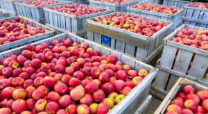 Jak kształtują się zapasy jabłek w UE?