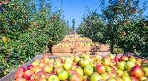 Rynek jabłek: Większe zbiory w Chinach, mniejsze w Europie