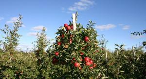 KE przewiduje stabilną produkcję jabłek, poprawę jakości i marketingu