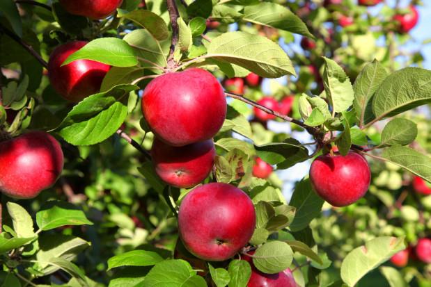 GUS: zbiory owoców z drzew o 23% mniejsze od rekordowych ubiegłorocznych