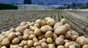 GUS: Zbiory ziemniaków o 13% mniejsze od ubiegłorocznych