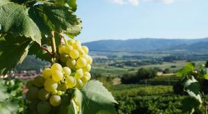 Winogrodnictwo - nowy kierunek studiów na Uniwersytecie Rolniczym w Krakowie