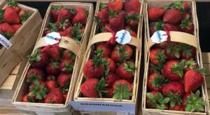Grandarosa - polska odmiana truskawki, która podbije Europę? (video)