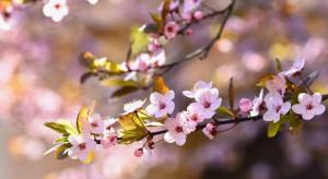 Przed Ministerstwem Finansów zakwitły wiśnie japońskie