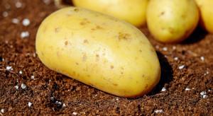 Ziemniaki można również uprawiać w systemie bezorkowym