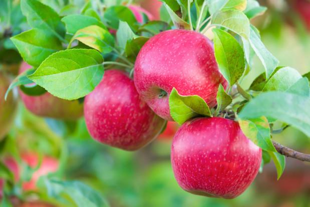 Roboty zbierające jabłka zadebiutują w USA w stanie Waszyngton (wideo)