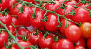 Europejscy konsumenci preferują mniejsze odmiany pomidorów