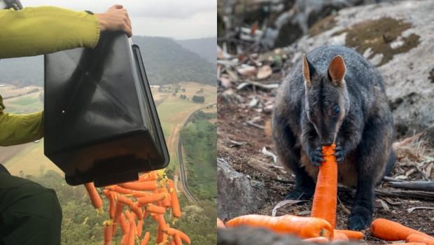 Pożary w Australii: Tony marchewek zostały zrzucone zwierzętom