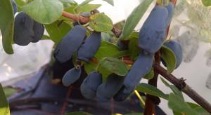 Poszukiwana odmiana jagody kamczackiej dostosowana do polskich warunków (zdjęcia)