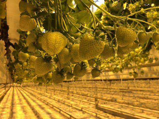 Okiem Doradcy  Jagodowego: Zaawansowana technologia uprawy truskawki w Niderlandach