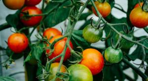 Nowy patogen w uprawie pomidora w Europie