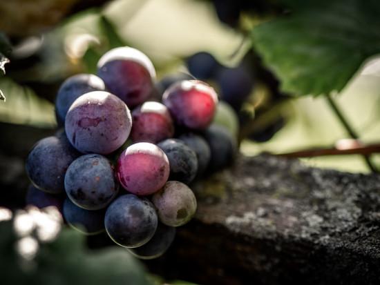 Cytospora viticola - zagrożenie dla winorośli