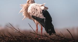 Suwałki: na polskim biegunie zimna pojawił się bocian