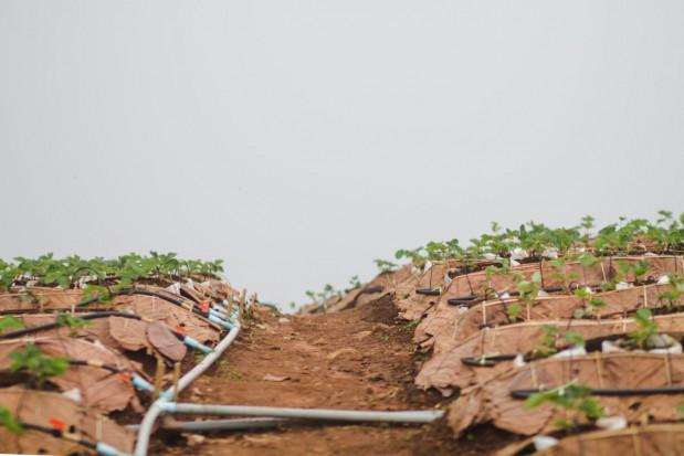 Nawadnianie sadów i jagodników – doprowadzamy wodę