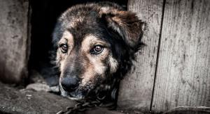Szef PSL: jestem przeciwnikiem trzymania zwierząt na łańcuchu