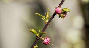 We Włoszech anomalie pogodowe: kwitną mimozy i migdałowce