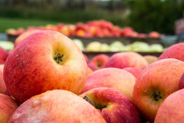 Sadownik z gm. Błędów nie otrzymał pieniędzy za jabłka. Firma winna jest mu 126 tys. zł