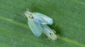 PIORiN: Nowe zagrożenia dla upraw kukurydzy