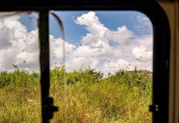 Inwazja szarańczy w Kenii bije w rolnictwo