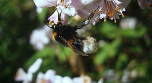 Kwiaty miejskie częściej odwiedzane przez owady zapylające niż na obszarach rolniczych