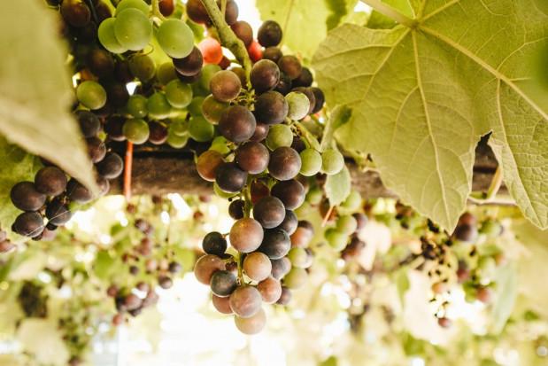 Ocieplanie się klimatu ma pozytywny wpływ na uprawę winorośli w Polsce