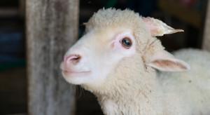 Opole: Uratowano zagubioną w mieście owieczkę