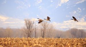 Żurawie i gęsi już na polskim biegunie zimna. Zwiastują nadejście wiosny