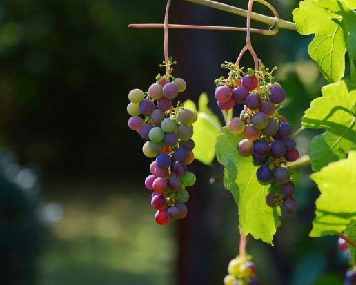 Nowy szkodnik może wywoływać straty w uprawach winorośli w Europie