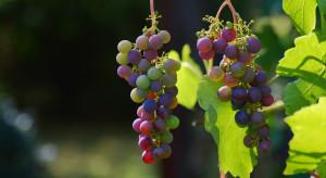 Arboridia kakogawana – nowy szkodnik upraw winorośli w Europie