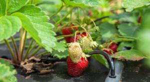 Fertygacja w uprawie jagodowych – przygotowanie pożywki i zakwaszanie wody