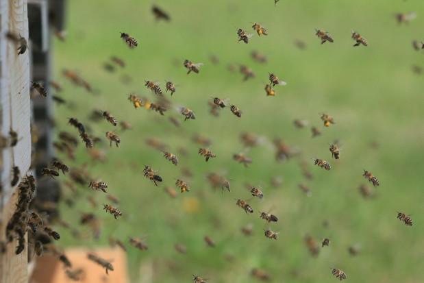 Powstał fungicyd stosowany wyłącznie za pośrednictwem pszczół