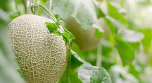 Pierwsze wykrycie nowego patogenu na roślinach melona w Hiszpanii