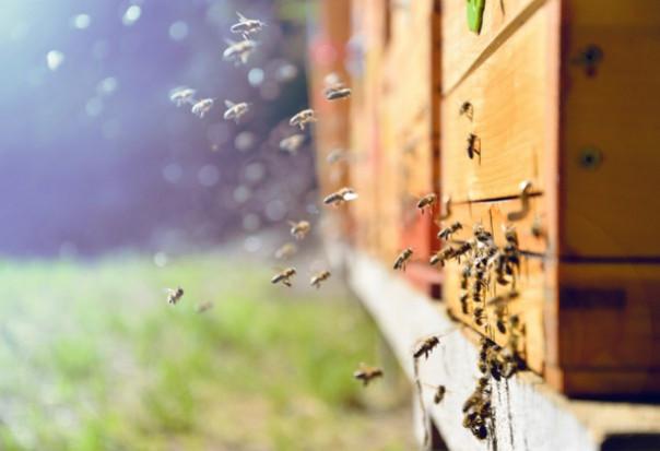 Inteligentne ule mogą uratować pszczoły przed wyginięciem (wideo)