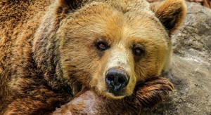 Niedźwiedzie zbudziły się w Pieninach