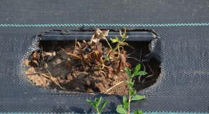 Zmęczenie gleby w jagodowych – doświadczenia w uprawie malin