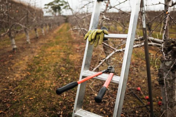 Zimowe cięcie sadów – sadownicy tną sami, tradycyjnymi ręcznymi sekatorami
