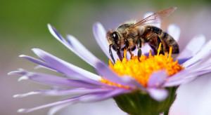 Pszczelarz: Miejskie pszczoły z Katowic zbierają miód z 50 różnych roślin