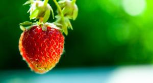 Nowa substancja czynna w ochronie truskawki – izofetamid