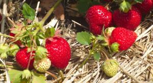 Potas w żywieniu roślin jagodowych