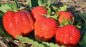 Kongres Truskawkowy: praktycznie o nawożeniu, fertygacji i ochronie herbicydowej truskawek