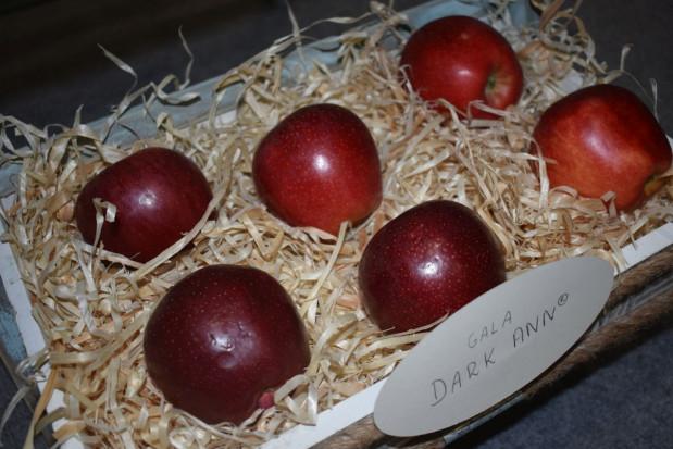 Jakimi odmianami jabłoni interesują się sadownicy? (galeria zdjęć)