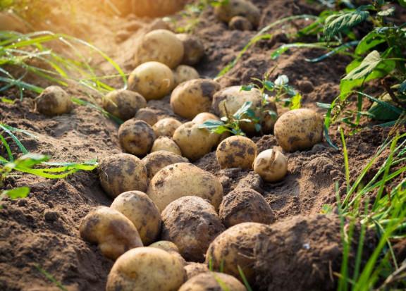 Ziemniaki przetrwają kryzys klimatyczny dzięki innowacyjnym uprawom