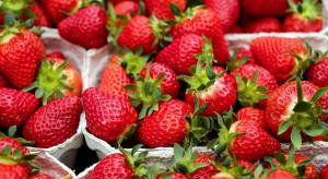Nietypowo ciepła zima - sezon truskawkowy rozpocznie się wcześniej