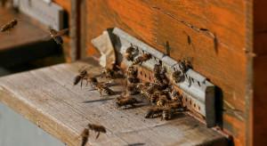 Podkarpackie: pszczoły opuszczają ule, ale są w słabej kondycji