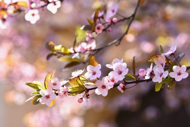 USA: Kwitnące wiśnie poprawiają humor mieszkańcom pustoszejącego Waszyngtonu