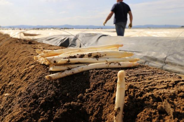 Na uprawach szparagów w Niemczech może zabraknąć tysięcy pracowników z Polski